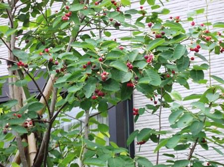 June_berry