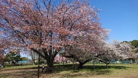 Sakura1_20200408141101