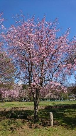 Sakura2_20200408141201