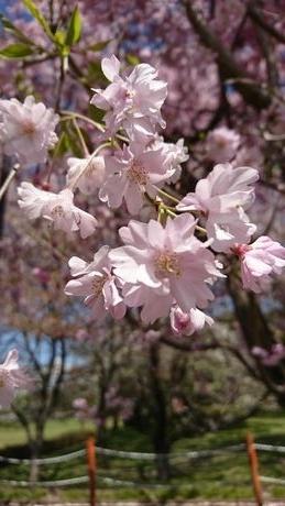 Sakura3_20200408141201